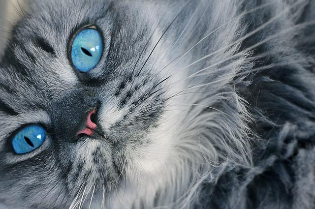 Pictures of dark gray cats
