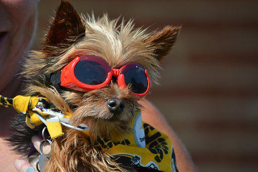 Yorkshire Terrier, Pet, Dog, Terrier