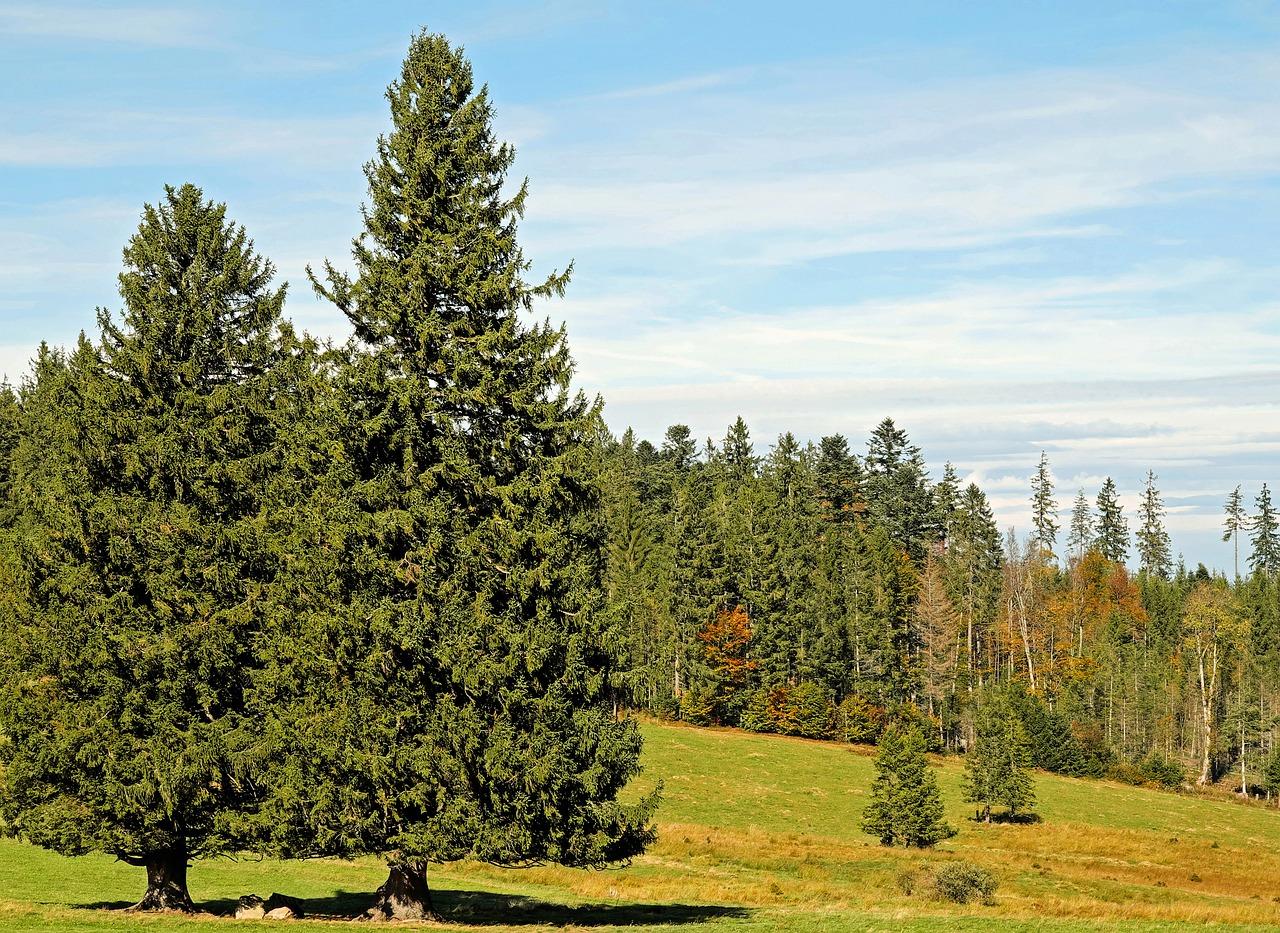 Картинки о хвойных лесах