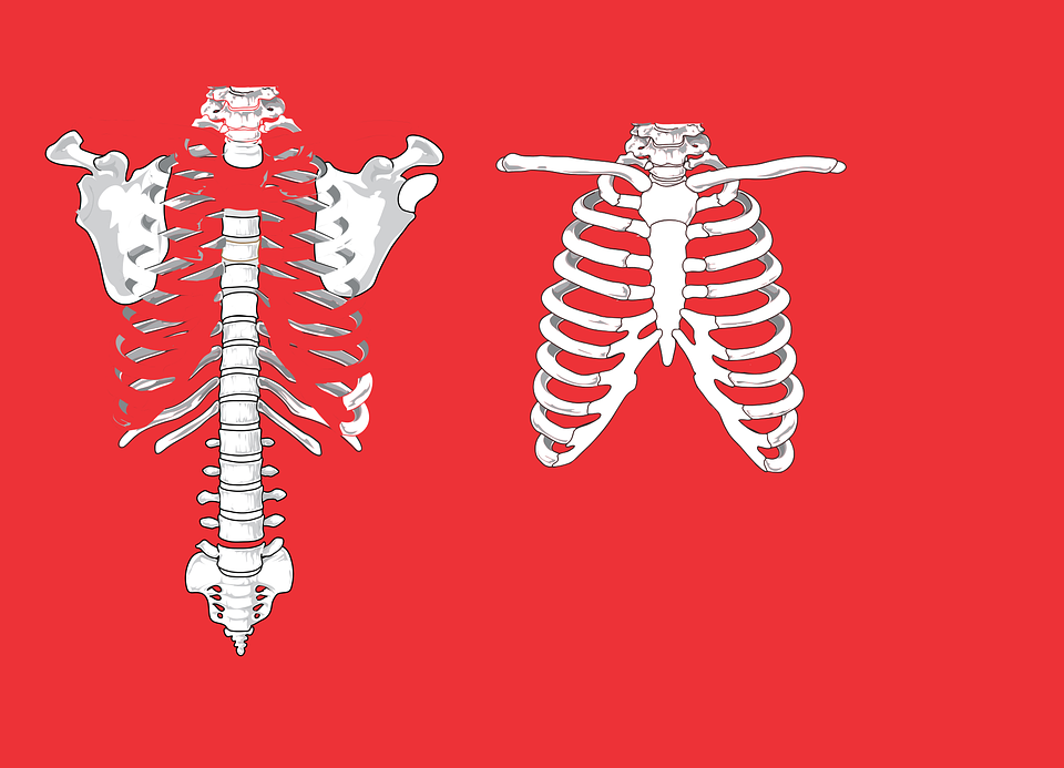 Skeleton Ribs Anatomy Free Vector Graphic On Pixabay