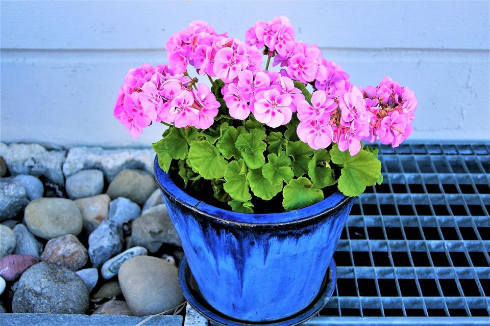 Flower pot pink geranium free photo on pixabay flower pot pink geranium flowers ornamental plants mightylinksfo