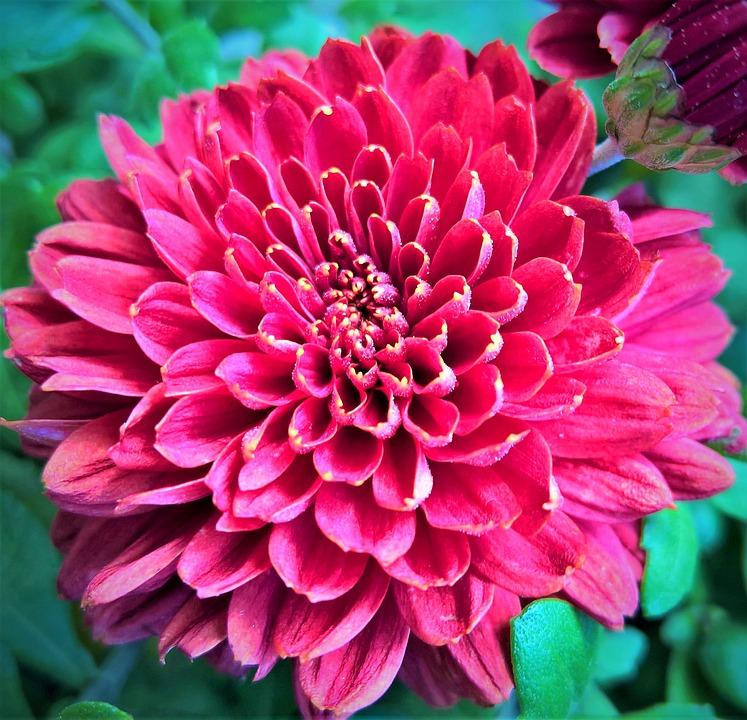 Aster Krisan Herbstastern Bunga Foto Gratis Di Pixabay