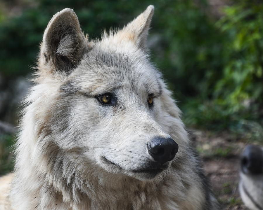 Wolf images pixabay download free pictures wolf predator head animal wild fandeluxe Images