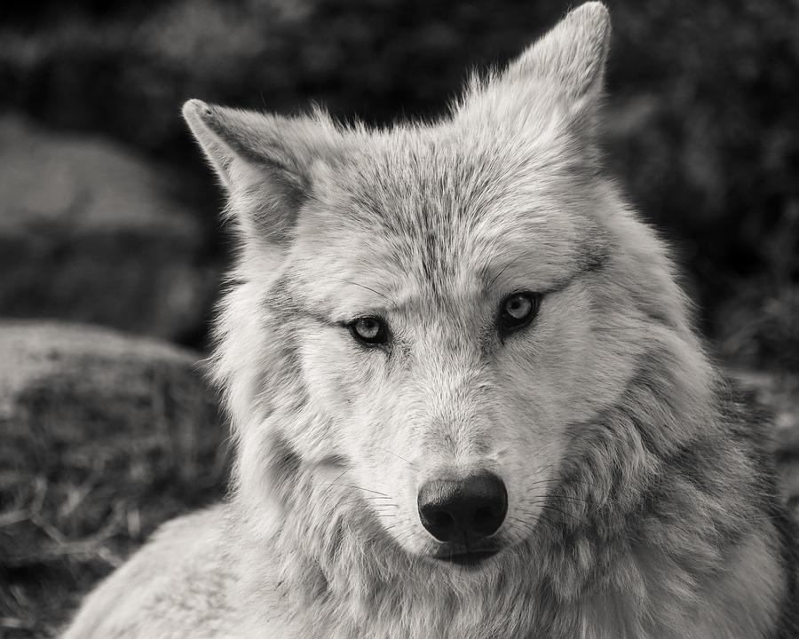 Wolf predator black and white head