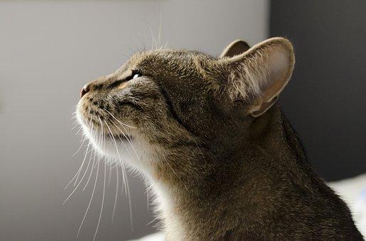 Gato, Gatito, Gato Doméstico, Tomcat