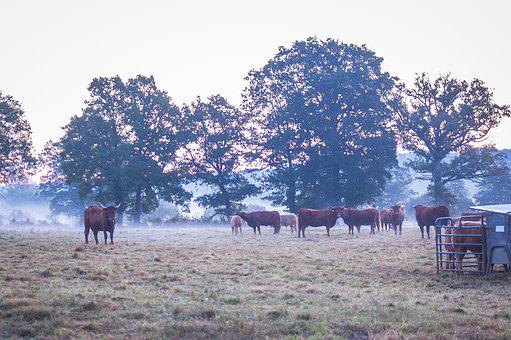 Vaca, Mañana, Niebla, Cerca, Salers