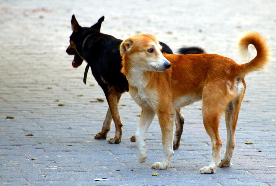 犬, 仲間, 野犬, ブラウン, ブラック