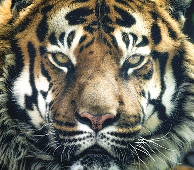 Tiger, Bengal, Stripes, Eyes, Close