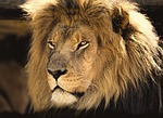 lion, male, africa