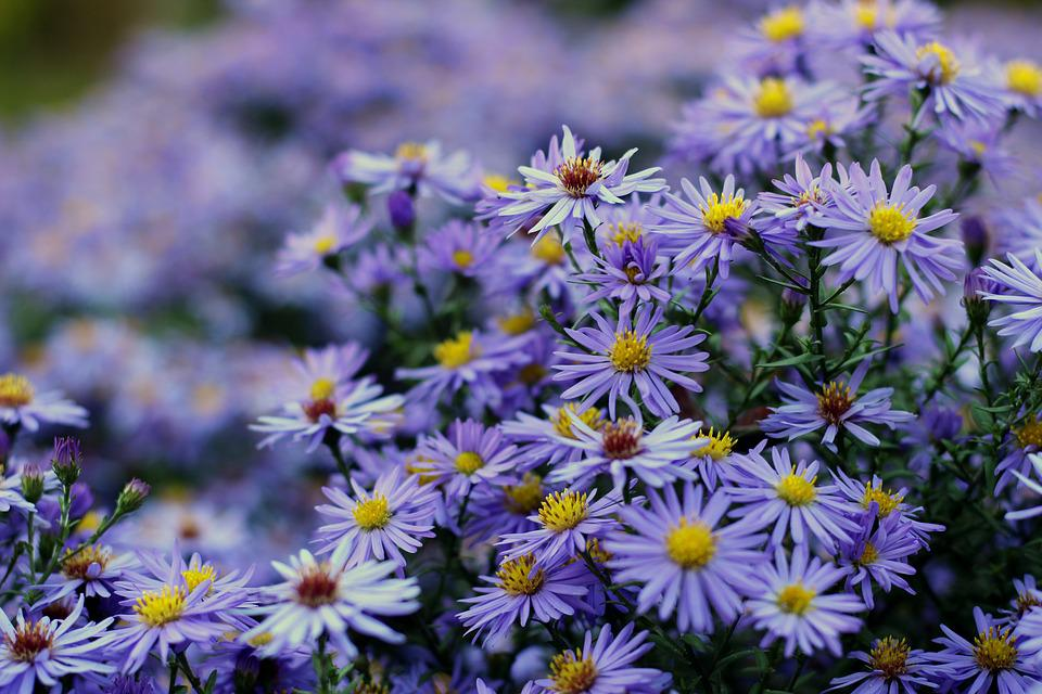 Herbstaster Aster Dumosus Flower Free Photo On Pixabay