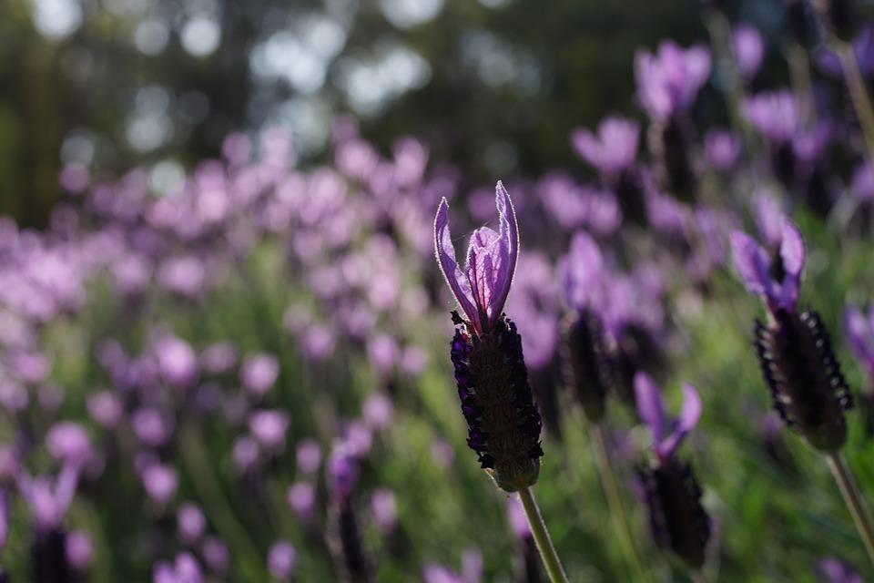 Lavender Garden, Field, Purple, Sunshine, Natural