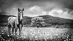 horse, meadow, black and white