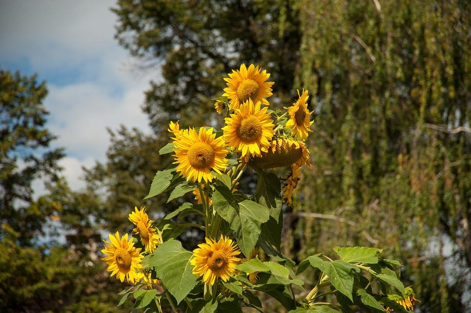 Fleur du soleil l 39 automne photo gratuite sur pixabay - Fleur du soleil ...