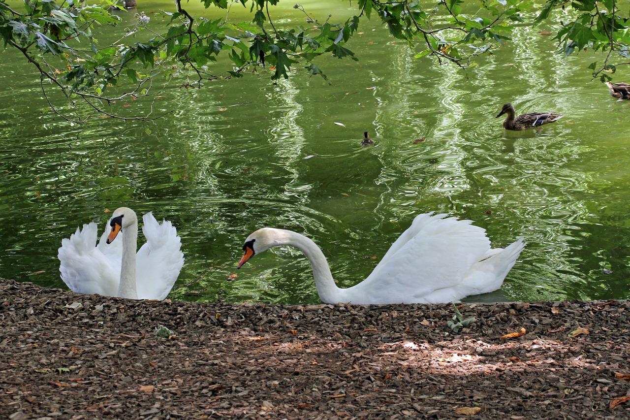 странно, название картинки лебедей и фото с лебедями производится посредством