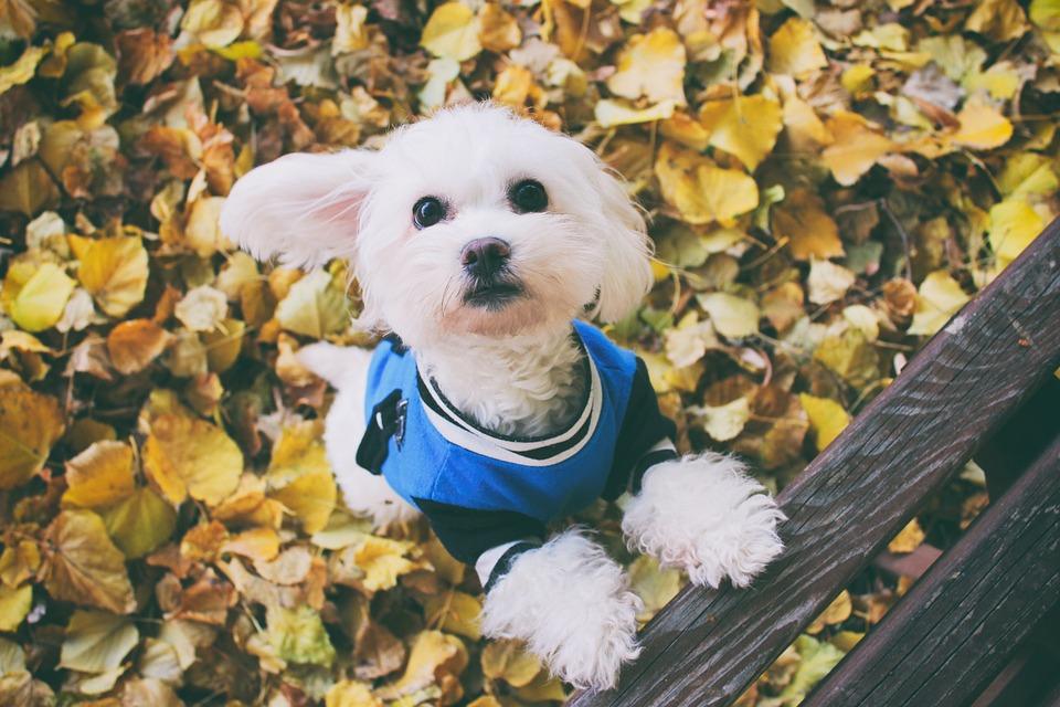Hund Herbst Malteser Kostenloses Foto Auf Pixabay