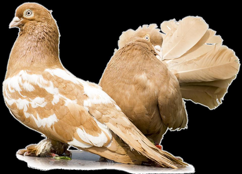 Tauben Ohne Hintergrund Ein Kostenloses Bild Auf Pixabay