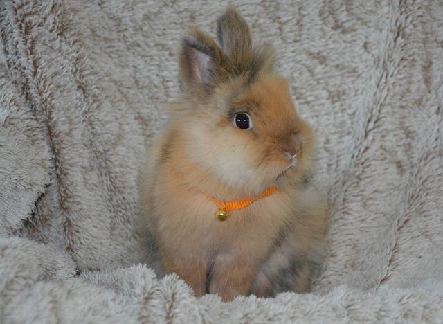 Dwarf Rabbit Ruminant Lion 183 Free Photo On Pixabay