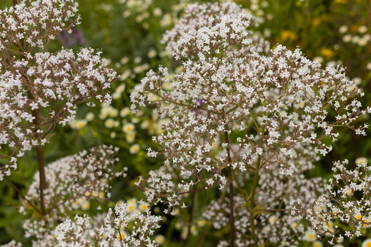 согласия валерианница малая цветок фото статус