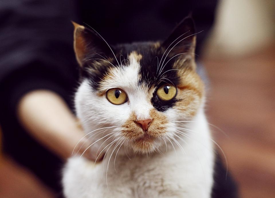 bb5ea5ddda59 Γάτες Κατοικίδια - Δωρεάν φωτογραφία στο Pixabay