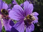 bumble bee, honey bee, bees
