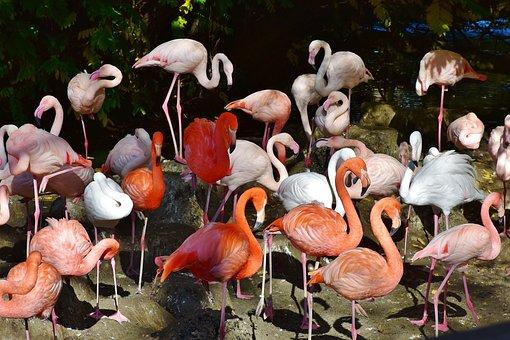 Flamingo, Bird, Pink, Bill, Plumage