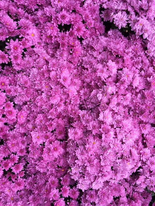 Azalea Color De Rosa Oscuro · Foto gratis en Pixabay