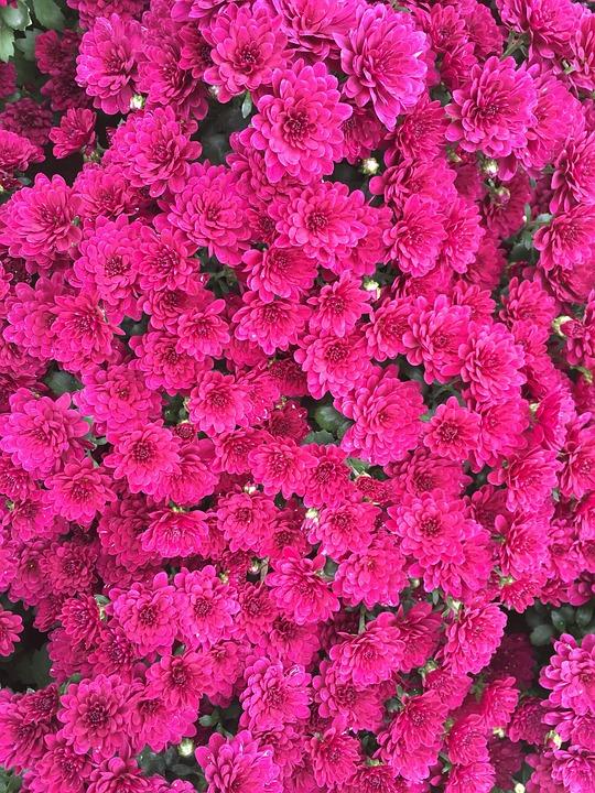 Rote Blumen Chrysantheme Herbst Kostenloses Foto Auf Pixabay