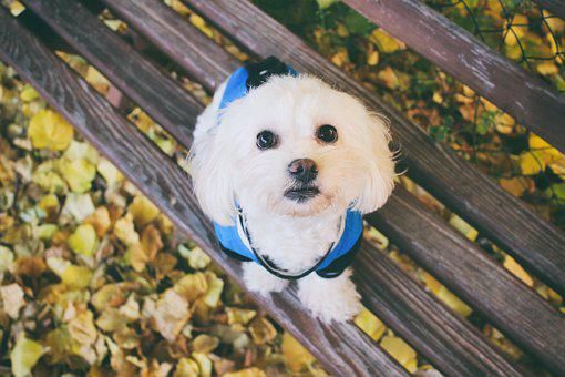 Maltese Dog, Dog, Animal, Foliage, Leaf