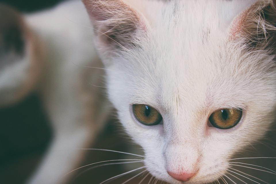 903122b13a19 Γάτα Λευκό Γατάκι Στο - Δωρεάν φωτογραφία στο Pixabay