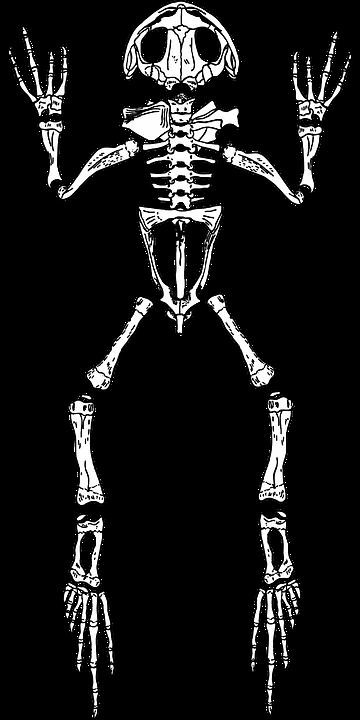 Rana Esqueleto Anatomía · Gráficos vectoriales gratis en Pixabay