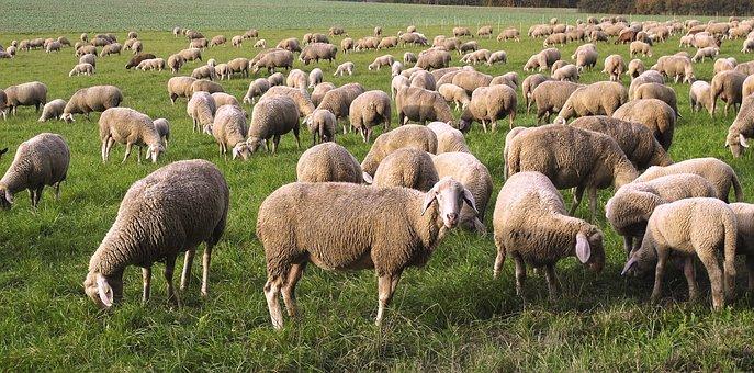 Πρόβατα, Κοπάδι, Pfrech