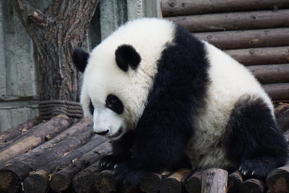Panda, Adult Panda, Big Panda, Wild, Animal, Adult