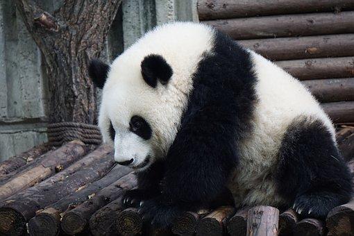 Panda, Adult Panda, Big Panda, Wild