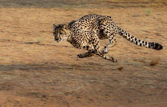 Gepard, Afrika, Namibia, Katze, Laufen