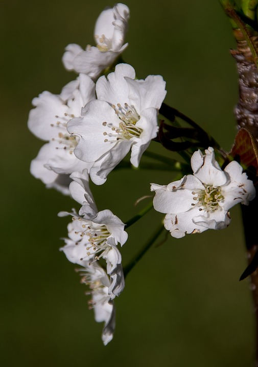 Asian pear flower