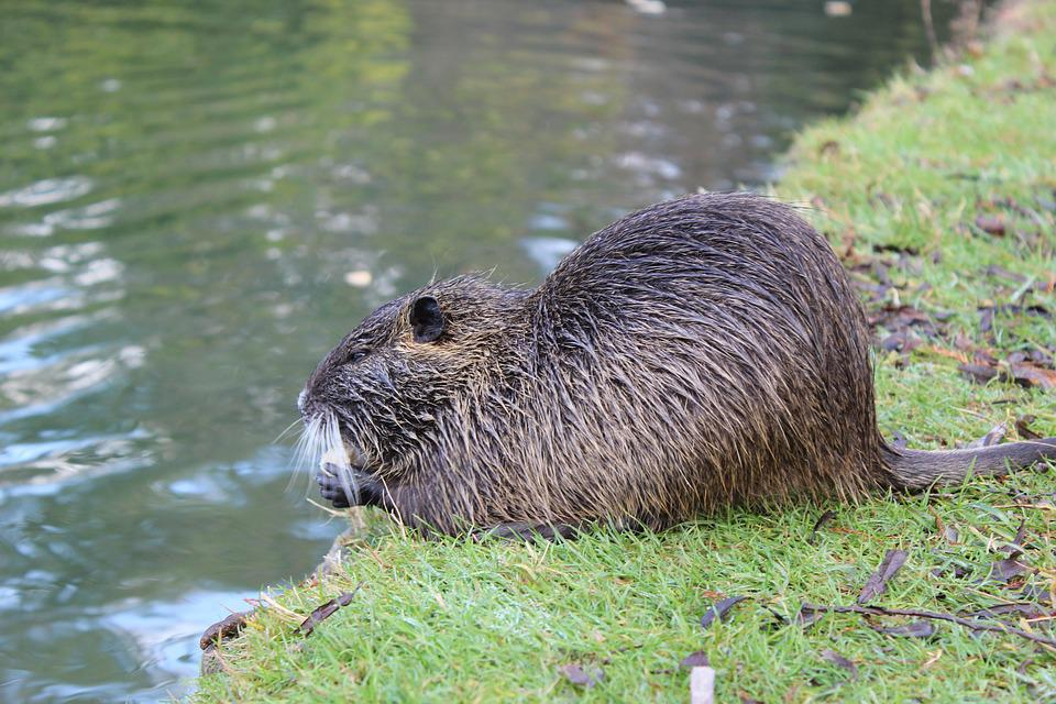 Beavers, Pond, Animal