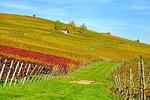 vineyard, vines, winegrowing
