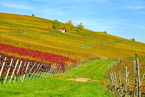 Vineyard, Vines, Winegrowing, Slope