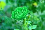 viridescent, verdant