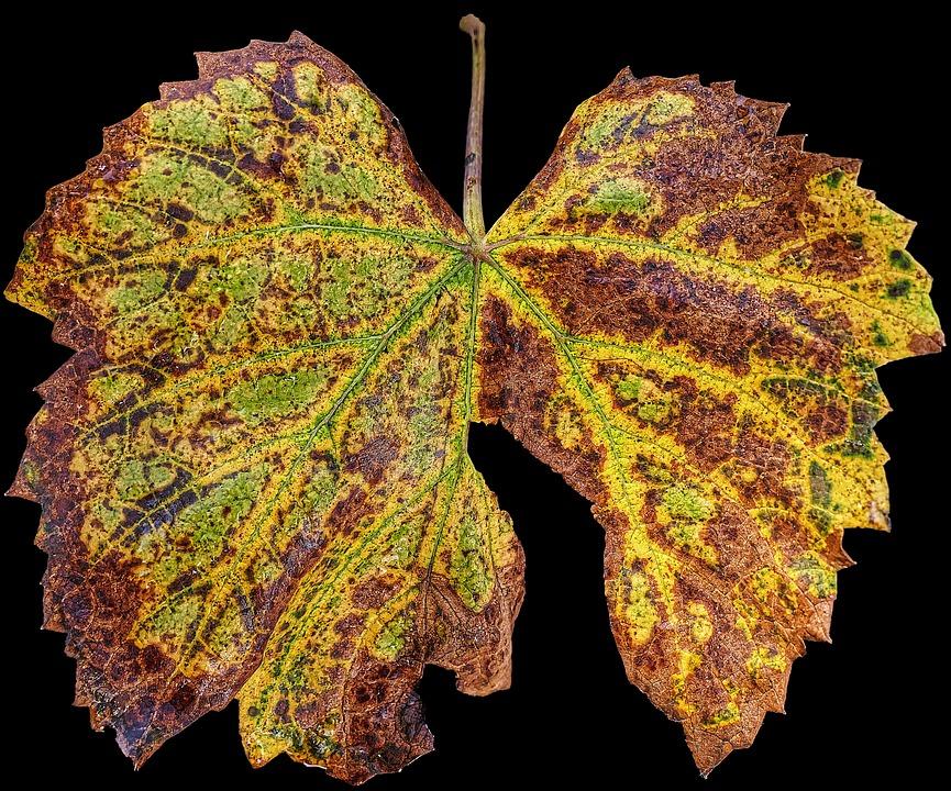 Yaprak Sonbahar Asma Pixabayde ücretsiz Fotoğraf