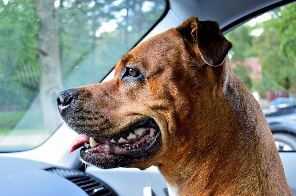 Anjing Rottweiler Amstaff Ras Foto Gratis Di Pixabay