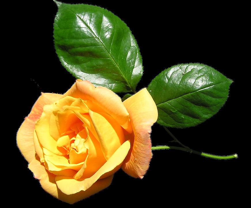 Yellow Rose Stem Free Photo On Pixabay