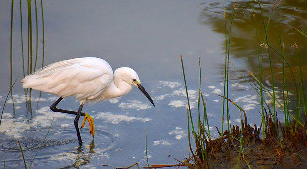 Image result for white crane, water