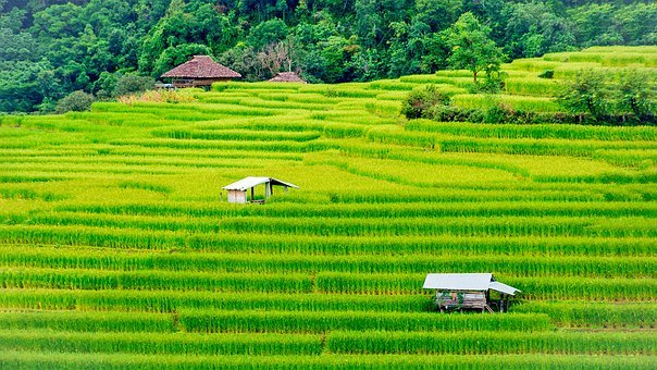 Rice, Field, Farm, Thailand, Farmland
