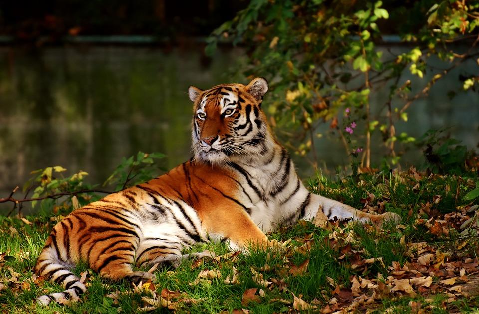 Tiger  Predator  Fur  Beautiful  Dangerous  Cat. Free photo  Tiger  Predator  Fur  Beautiful   Free Image on
