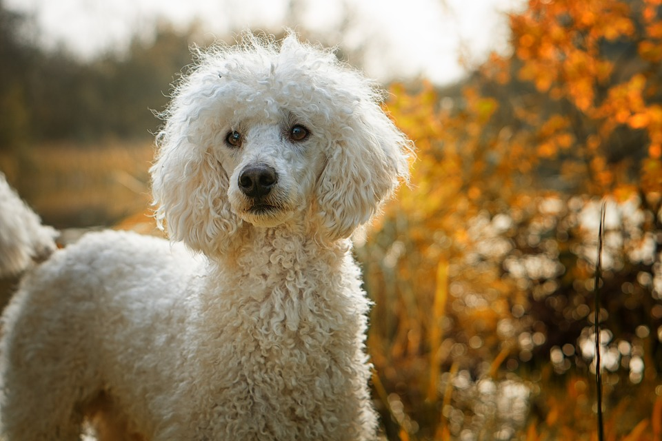 Dog, Poodle, The Poodle, The Dog Breed, White, Autumn, top 10 dog breeds