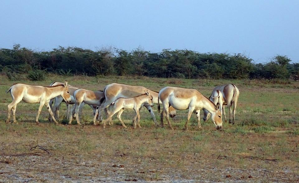 Indian Wild Ass Equus Hemionus Khur Ghudkhur Khur