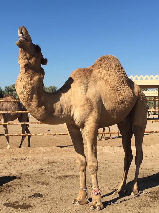 Верблюд, Бахрейн, Пустыня