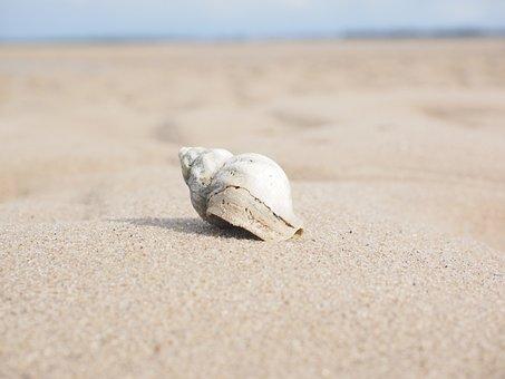 Snail, Whelk, Shell, Buccinum Undatum