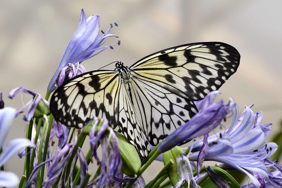 Farfalla, Insetto, Ala, Volante, Animale, Nero, Giallo